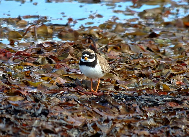 Common ringed plover, Canon EOS 7D MARK II, Canon EF70-300mm f/4-5.6 IS II USM