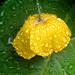 Welsh poppy, English rain.