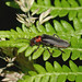 Soldier Beetle --- Cantharis rustica