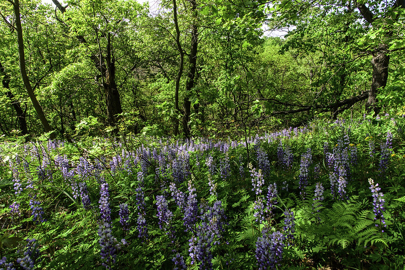 Lupine in the Woods