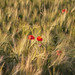 Poppies in the Barley 2