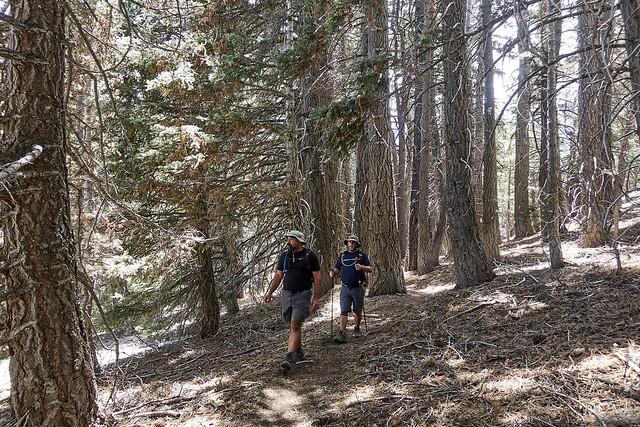 Through the red fir forest