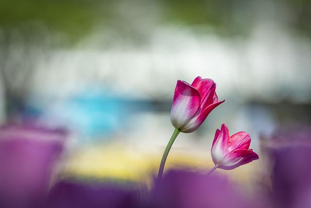 Tulip 23