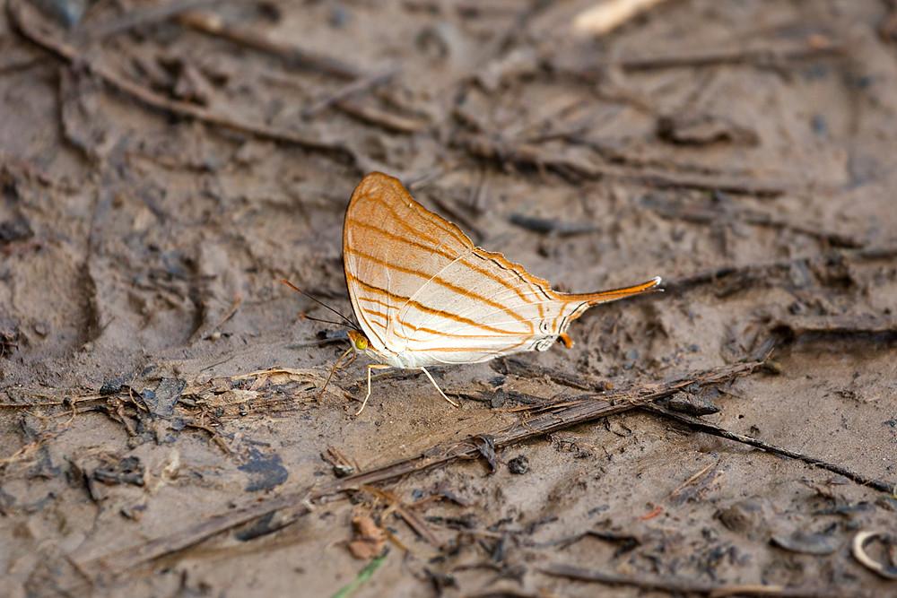 Amber Daggerwing (Marpesia berania)