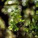 Old leaves, new leaves by J.L. Briz