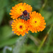 Native Wildlfowers - Orange Hawkweed