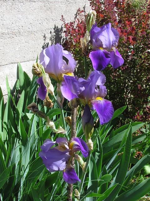 Iris grmanica cv.