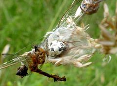 Furrow Spider (Larinioides cornutus) in its web with prey leftovers ...
