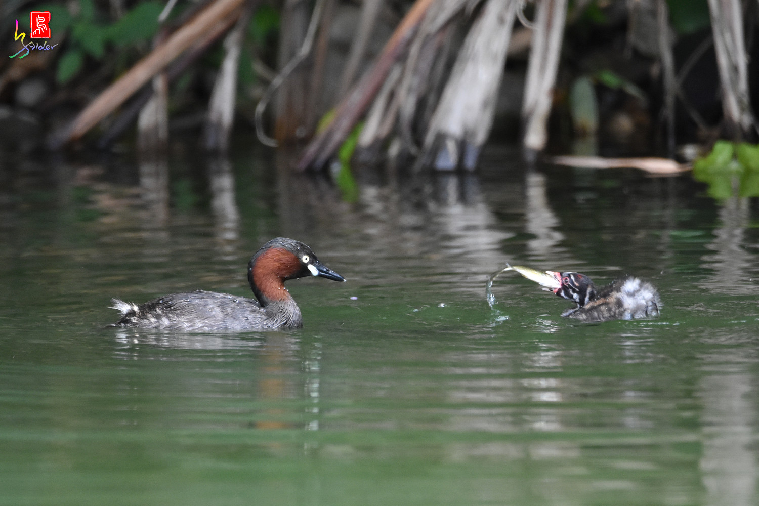 Little_Grebe_3276