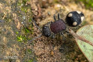 Velvet ant (Mutillidae) - DSC_2266