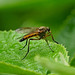 Snipe-fly --- Rhagio tringarius