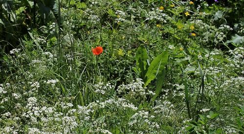 Papaver dubium subsp. dubium - pavot douteux 27647530937_0208e195a9