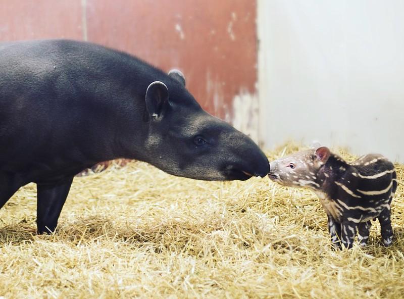 tapiren torsten
