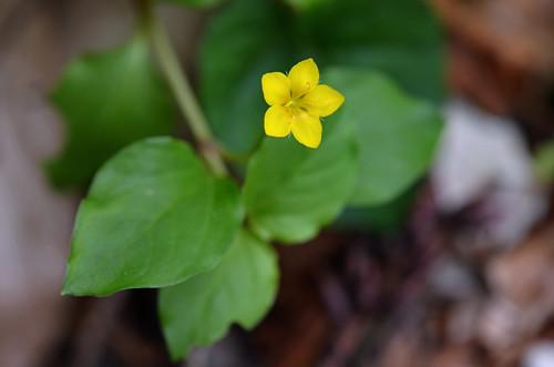 [Primulaceae] Lysimachia nemorum (Hain-Gilbweiderich)