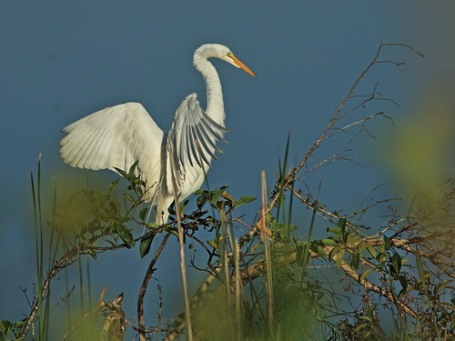 Great Egret 02-20180614