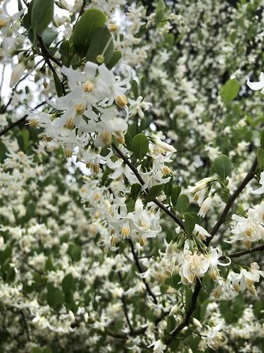 Styrax wilsonii (Chinese snowbell), NYBG