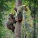 Bruine beer / Brown bear / Ours brun by Gladys Klip