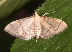 Hollow-spotted Blepharomastix Moth