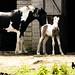 Foal-ed Up Legs