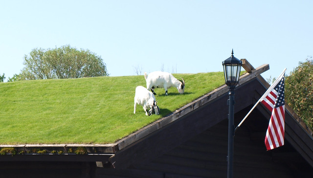 The goats on top of AJ Johnson's roof