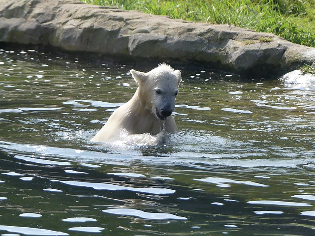 Eisbär Nanook, Zoom Gelsenkirchen