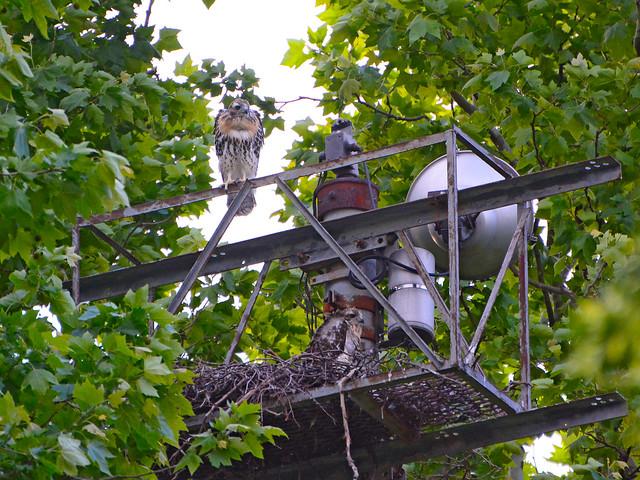 GT Hawk Nest - 0616