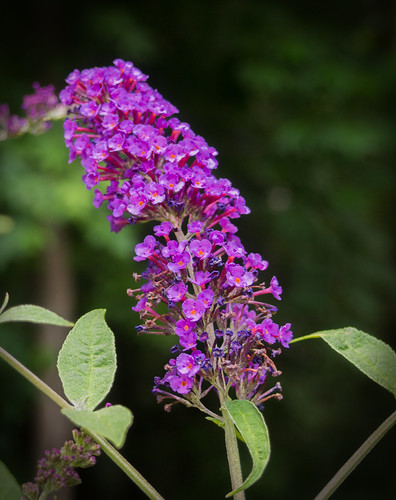 Vista Grove Butterfly Bush