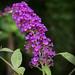 Vista Grove Butterfly Bush