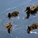 Mallard ducklings, canal