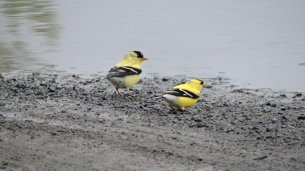 Chardonnerets jaunes