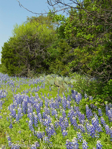 landscape flowers ussouthwest texas burnet unitedstates us