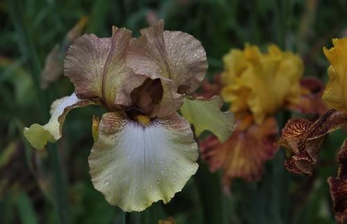 Iris 'Patina' - Keppel 1976 41733906195_b2a979def5