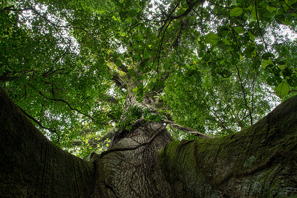 Kapokipuu, Ceiba, tree, Volcan, Arenal, National, Park, Costa, Rica, Kaido Rummel