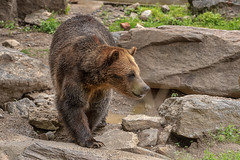 Grizzly Bear, Bronx Zoo, New York