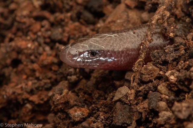 Punctate Worm-skink (Anomalopus swansoni)