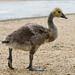 A Canada gosling
