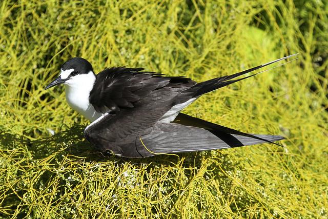 Onychoprion fuscatus (Sooty Tern) - Seychelles .