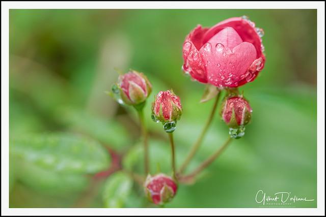 FLOWER_Red Rose