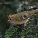 Male Goldcrest displaying