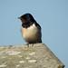Swallows 16