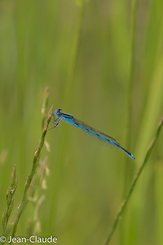 Enallagma cyathigerum - Agrion porte-coupe