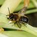 Megachile willughbiella
