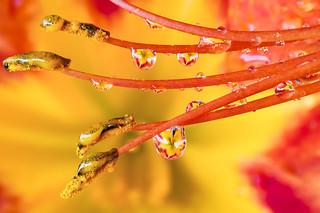 Giglio selvatico Drops e Flowers Gocce e Fiori Riflessi by Mario Nicorelli con Nikon D300s macro fotografia