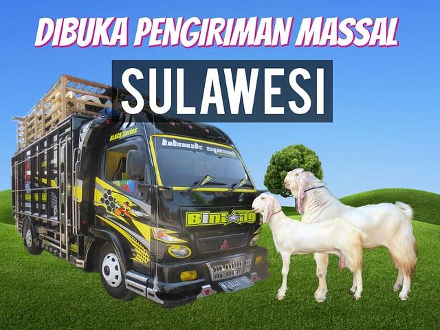pengiriman massal kambing etawa sulawesi