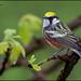 Chestnut-sided Warbler (Dendroica pensylvanica) by Glenn Bartley - www.glennbartley.com