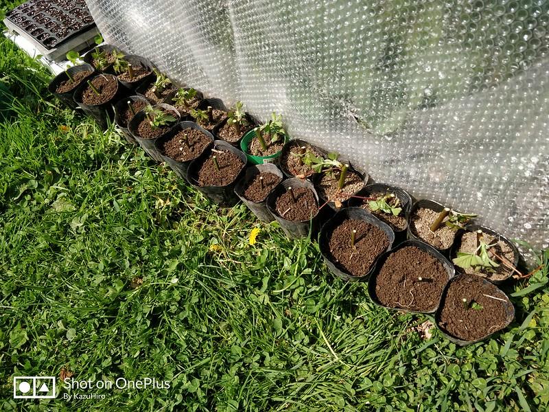 ブラックベリーの苗を作る (9)