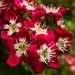 Crimson Hawthorn (Crataegus laevigata