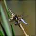 F44-Broad-bodied Chaser-EGP-100618