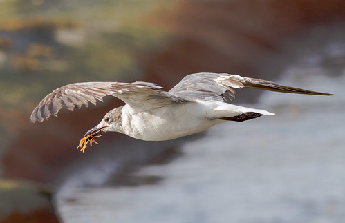 Laughing gull (juvenile) with crab