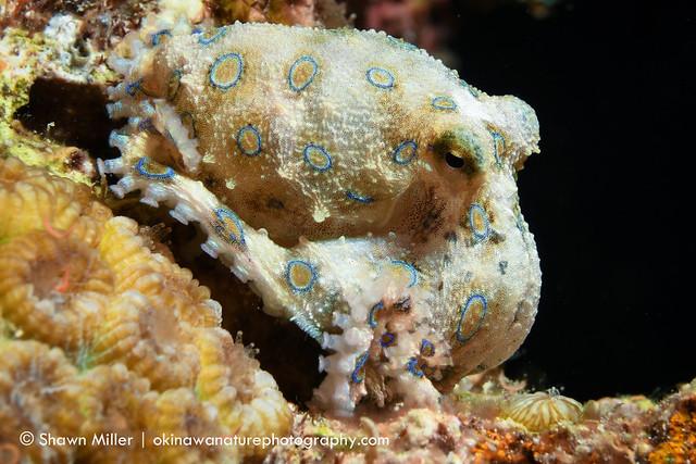 Blue Ringed Octopus (Hapalochlaena lunulata) at Maeda point